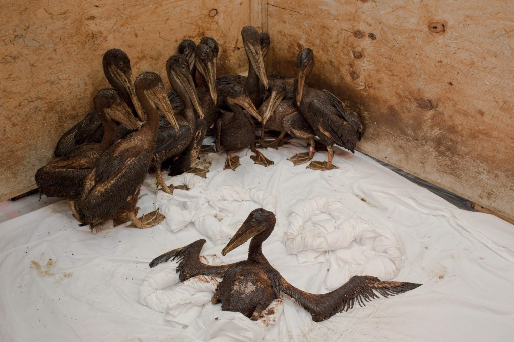 epa02214843 A Greenpeace handout photo shows a group of baby brown pelicans, completely covered in oil, wait in a holding pen to be treated as part of the cleaning process at the Fort Jackson International Bird Rescue Research Center in Buras, Louisiana, USA, 21 June 2010. Members of the Tri-State Bird Rescue and Research team work to clean birds covered in oil from the Deepwater Horizon wellhead. The BP leased Deepwater Horizon oil platform exploded on April 20 and sank after burning. EPA/DANIEL BELTRA / GREENPEACE HANDOUT EDITORIAL USE ONLY/NO SALES