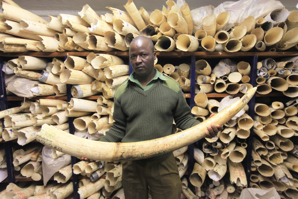 FILE - In this Thursday, June, 2, 2016 file photo, a Zimbabwe National Parks official holds an elephant task during a tour of the country's ivory stockpile at the Zimbabwe National Parks Headquarters in Harare. Africa is divided over how to conserve elephants whose population has plummeted in the last decade.Namibia, Zimbabwe and South Africa favour selling ivory stockpiles but are opposed by about 30 African countries that want to tighten an international ban on the ivory trade. (AP Photo/Tsvangirayi Mukwazhi, file)