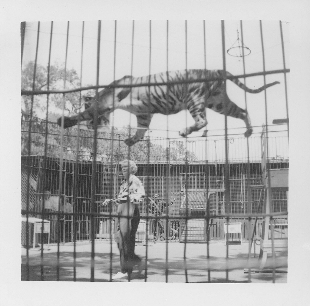 Mabel Stark training tiger to walk tightrope at Jungleland, circa 1950. We're happy to share this digital image on Flickr. Please note that certain restrictions on high quality reproductions of the original physical version may apply. For information regarding obtaining a reproduction of this image, please contact the Special Collections Librarian at specoll@tolibrary.org.